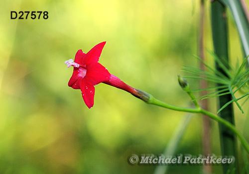 rouge, jaune, orange 30 Graines-Ipomoea Quamoclit Quamoclit stenophylla-Cypress Vine